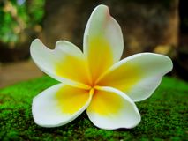 Frangipani flower against cool moss background Royalty Free Stock Photography
