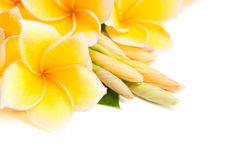 Frangipani flower arranged together Stock Image
