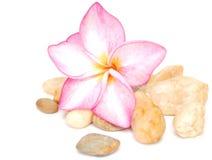 Frangipani flower background. Decor with a pink frangipani with stones Stock Photos