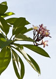 Frangipani flower background sky Royalty Free Stock Photos