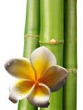Frangipani flower and bamboo Royalty Free Stock Image