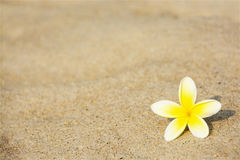 Frangipani Flower on the Beach Royalty Free Stock Photography