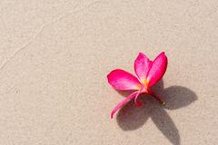 Frangipani flower on Beach Stock Photography