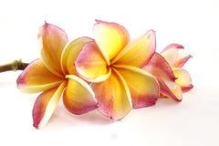 Frangipani flower beautiful Stock Photo
