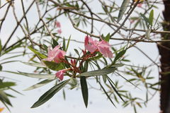 Frangipani Flower. Beautiful frangipani flower in sight stock photo