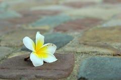 Frangipani flower beauty on stone Stock Photos