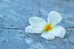 Frangipani flower beauty on stone Royalty Free Stock Photography