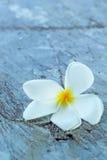 Frangipani flower beauty on stone Royalty Free Stock Images