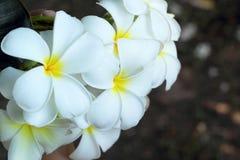 Frangipani flower beauty on tree Stock Image