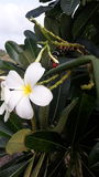 Frangipani flower being eaten by worm Royalty Free Stock Photography
