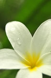 Frangipani flower in bloom Royalty Free Stock Photo