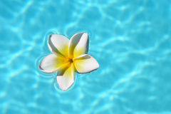 Frangipani flower Stock Image