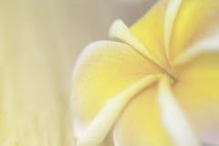 Frangipani flower blur and soft background Stock Image