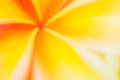Frangipani flower blur and soft background Royalty Free Stock Images