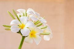 Frangipani flower on blurred background Stock Photos