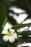Frangipani flower boracay philippines stock image