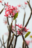 Frangipani flower and branch royalty free stock photo