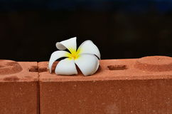 Frangipani flower. On the brick wall Royalty Free Stock Photos