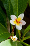 Frangipani flower and bud - Creta Royalty Free Stock Images