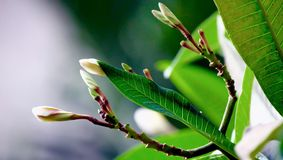 Frangipani flower buds. Along with newly formed leaves Stock Image