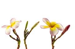 Frangipani flower Royalty Free Stock Image