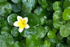 Frangipani flower and Centella Royalty Free Stock Photos