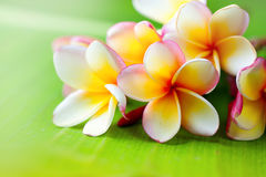 Frangipani flower closeup. Exotic plumeria spa flowers royalty free stock images