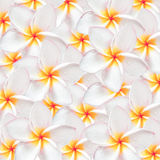 Frangipani flower, design for background Stock Photo