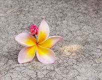 Frangipani flower on dirty cement floor. Royalty Free Stock Photos