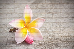 Frangipani flower on dirty cement floor. Royalty Free Stock Photography
