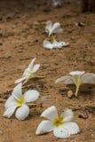 Frangipani flower fallen on the ground. Royalty Free Stock Photo