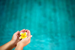 Frangipani flower in female hands Stock Image