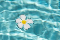 Frangipani flower floating on the resort pool stock photo