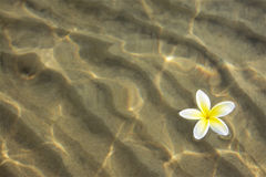 Frangipani Flower Floating on Shallow Water Royalty Free Stock Photos