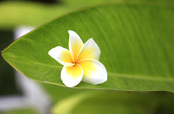 Frangipani flower. S leaves green tropical stock photography