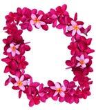 Frangipani flower frame Stock Image
