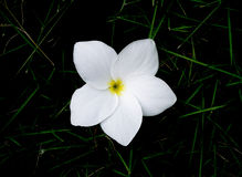 Frangipani flower on  grass Stock Photos