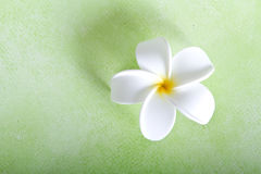 Frangipani flower on green background Royalty Free Stock Photo