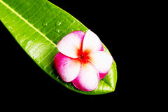 Frangipani flower on green leaf Stock Photo