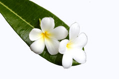 Frangipani flower on green leaf Stock Photos