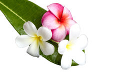 Frangipani flower on green leaf Stock Images
