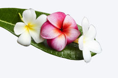 Frangipani flower on green leaf Royalty Free Stock Photography