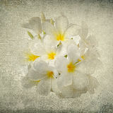 Frangipani flower in the grunge paper Stock Images