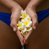 Frangipani flower in the hands Stock Image