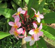 Frangipani flower-head with leaves. Pink and yellow Frangipani flowers and buds Royalty Free Stock Photography