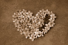 Frangipani flower heart in sepia. Love heart made of Frangipani (Plumeria) flower heads in sepia Royalty Free Stock Photography