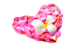 Frangipani flower in heart shape Royalty Free Stock Image