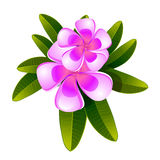 Frangipani flower isolated Royalty Free Stock Image