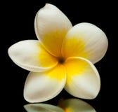 Frangipani flower Stock Photography