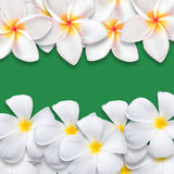 Frangipani flower isolated on green backgound Stock Images